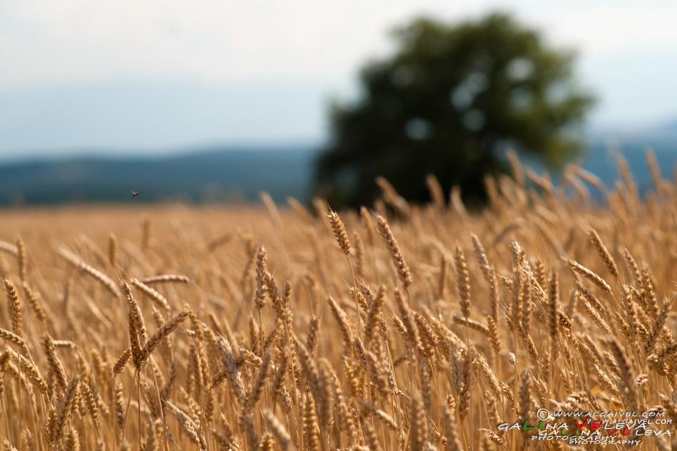 пшенична нива и пчела